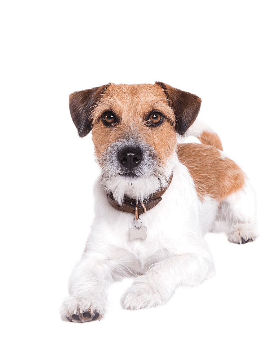 Jack-Russell.png